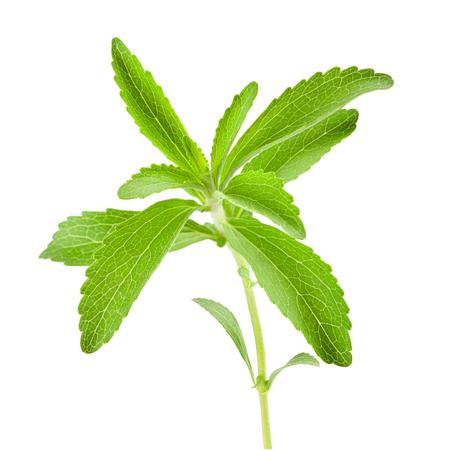 Stevia rebaudiana sprig isolated on white background Stock Photo