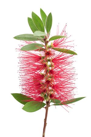 Crimson bottlebrush flower isolated on white background Stock Photo