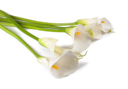 White calla lily, isolated on white. Bud and full-bloom Stok Fotoğraf - 90000531