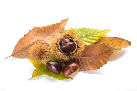 Świeże kasztany jadalne z łuskami na białym tle