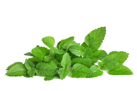 Fresh lemon balm  isolated on white background