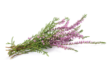 Purple heather flowers isolated on white background