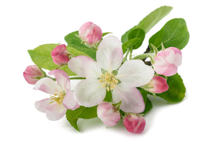 Apple Flowers with buds isolated on white background Stock Photo