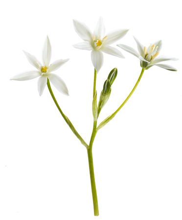 White Grass Lily (Ornithogalum umbellatum) Flowers on White Background
