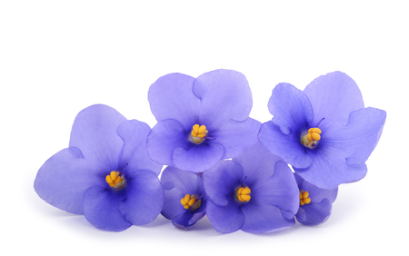 Saintpaulia (African violets) isolated on white background