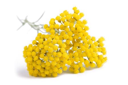 helichrysum flowers isolated on white background