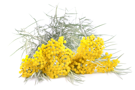 helichrysum flowers isolated on white background