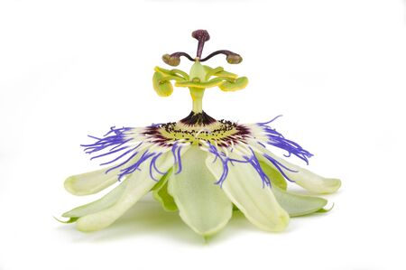 Passion flower  isolated on white background Stock Photo