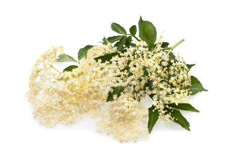 Elder flowers isolated on a white background