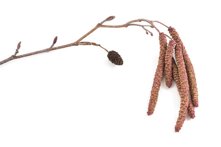 Black Alder branch with catkins isolated on white background Stock Photo