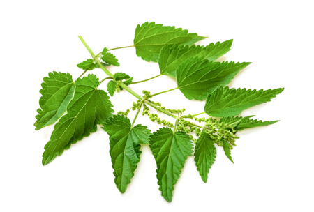 Stinging nettle isolated on white background Standard-Bild