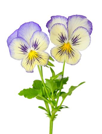 Pansies isolated on white background Zdjęcie Seryjne