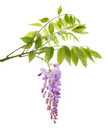 wisteria branch with flowers isolated on white Banque d'images