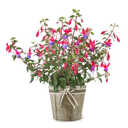 fuchsia plant in vase isolated on white