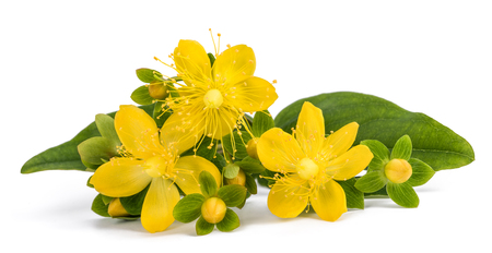 St. John's wort isolated  on white background 版權商用圖片