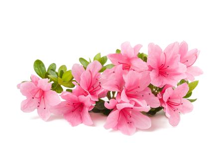azalie kwiaty na białym tle