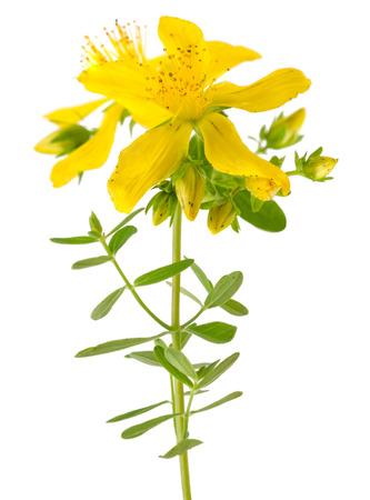 St. Johns wort (Hypericum perforatum) flowers