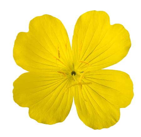 common evening primrose flower isolated on white