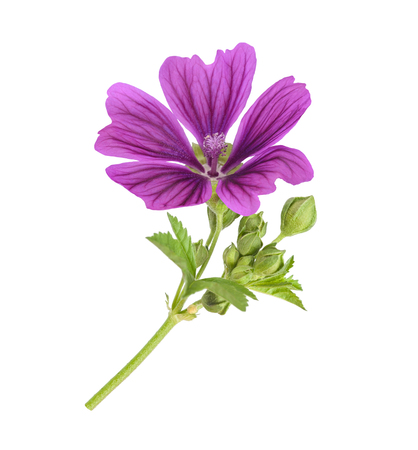 Mallow plant with flower isolated on white 스톡 콘텐츠