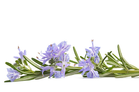 Rosemary sprig in flowers isolated on white background