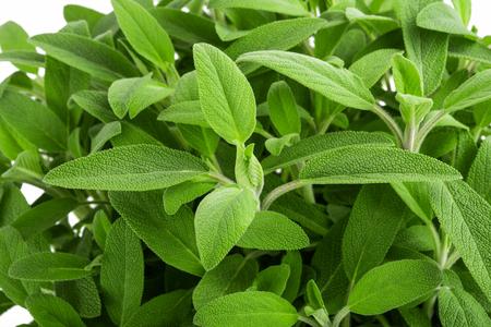 Sage plants (salvia officinalis) background, Stock Photo