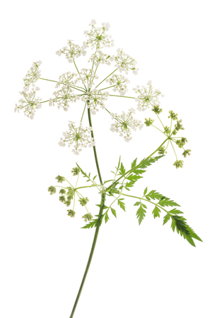 Cow Parsley or Wild Chervil isolated on white