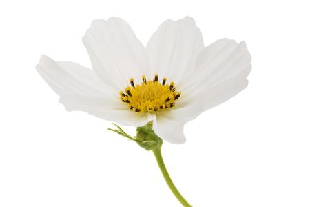White garden cosmos flower isolated on white
