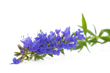 hyssop(Hyssopus officinalis) flower isolated on white background
