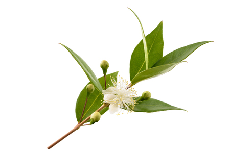 common myrtle branch with flowers isolated on white