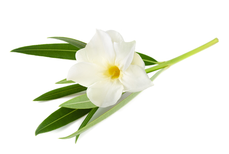 White oleander flower isolated on white background stock photo stock photo white oleander flower isolated on white background mightylinksfo