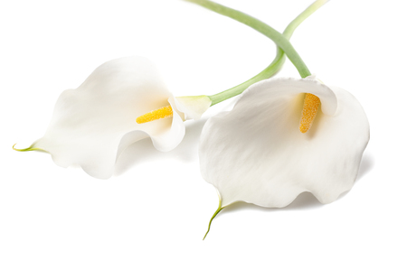 White calla lillies, isolated on white. Bud and full-bloom