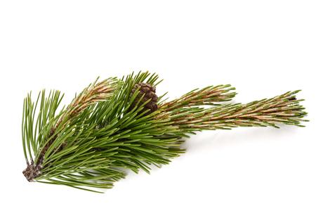 Mugo pine branch  with cones