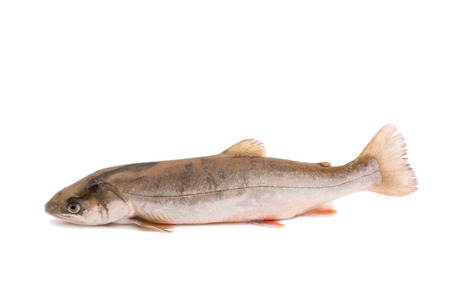 char fish (salvelinus) isolated on white backgrouns Stock Photo