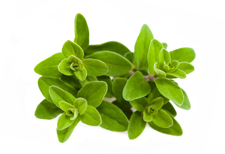 Fresh green marjoram plants isolated on white background