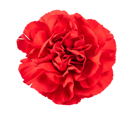 red carnation head isolated on white background Stock Photo