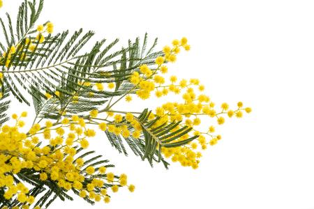 Ramo di Mimosa (canniccio d'argento) isolato su priorità bassa bianca.