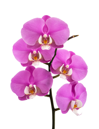 Pink orchid flowers isolated on white background 写真素材
