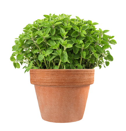 oregano plants in vase isolated on white background