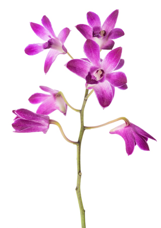pink rock orchid isolated on white background 版權商用圖片