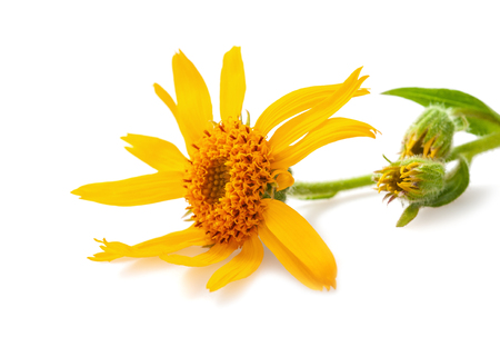 Arnica flower isolated on white background Stock Photo - 115677547