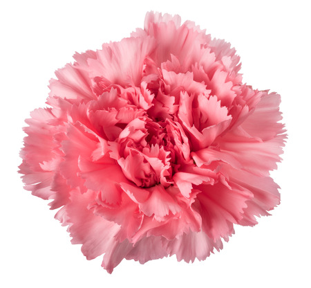 Pink carnation head isolated on white background Stock Photo