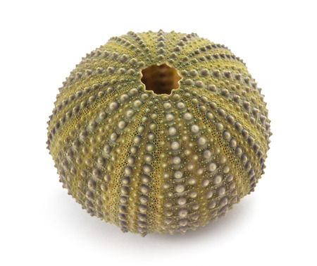 Sea urchin isolated on white background