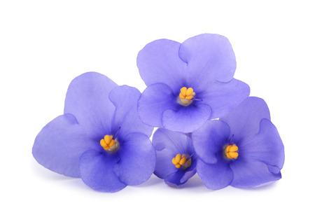 Saintpaulia (violettes africaines) isolé sur fond blanc