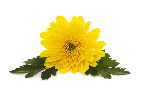 Yellow chrysanthemum flower isolated on white background