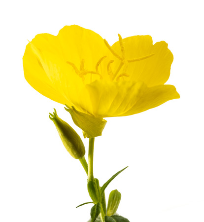 common evening primrose flowers isolated on white Stok Fotoğraf