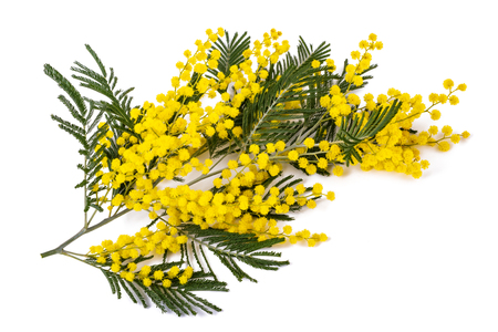 Mimosa (silver wattle) branch isolated on white background.