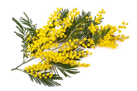 Ramo di Mimosa (canniccio d'argento) isolato su priorità bassa bianca. Archivio Fotografico