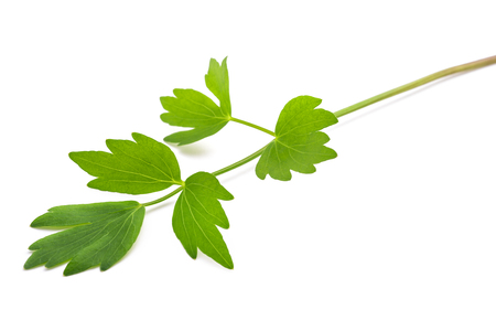 Fresh lovage twig (Levisticum officinale) isolated on white background Zdjęcie Seryjne