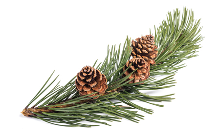 mugo pine branch  with cones isolated on white