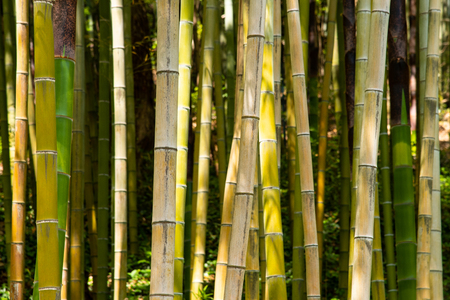 bamboo plants background in a forest